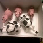 vacas y cerdos de plastilina